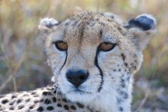 Cheetah in Serengeti, Tanzania Stock Photos