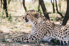 Cheetah in the shade Stock Image