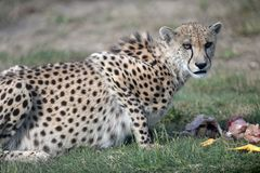 Cheetah. A shot of a wild cheetah in captivity Stock Photography