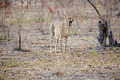 Cheetah showing its teeth. A cheetah in the bush showing its teeth stock image