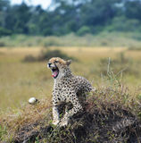Cheetah showing its teeth. Cheetah in a game reserve in Rwanda, Africa. Sitting on a mound and bearing its teeth Royalty Free Stock Photo