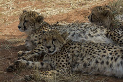 Cheetah siblings resting in shade Royalty Free Stock Photo