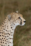 Cheetah side view profile Stock Photos