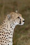 Cheetah side view profile. Masai mara, Kenya Stock Photos