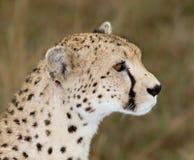 Cheetah side view profile. Masai mara, Kenya. Female Stock Images