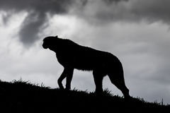 Cheetah Silhouette. Stock Images