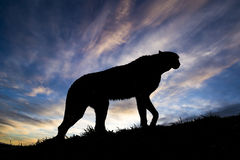 Cheetah Silhouette. Animal Walking Up the Hill Royalty Free Stock Photography