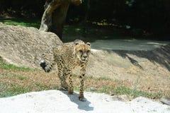 Cheetah. A Cheetah in Singapore zoo Stock Images