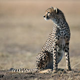 Cheetah sit on the grass and looks afield Royalty Free Stock Photo