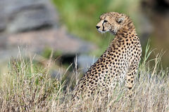 Cheetah sit on the grass and looks afield Royalty Free Stock Image