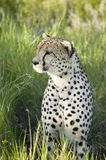 A Cheetah sits in deep green grass of Lewa Wildlife Conservancy, North Kenya, Africa Stock Photo