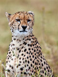 Cheetah sits on the grass and looks afield. Masai Mara Game Reserve, Kenya Royalty Free Stock Photo