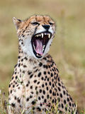 Cheetah sits in the grass and yawns Stock Images