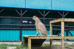 The cheetah sits. Cheetah sits and looks cleverly into the distance Royalty Free Stock Photography