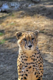 A cheetah sits and looks on past the camera. Royalty Free Stock Photography