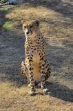 A cheetah sits and looks on past the camera. Stock Photo