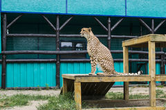 The cheetah sits. Cheetah sits and stares into the distance Royalty Free Stock Image