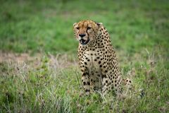 Cheetah sits staring ahead on lush grassland Royalty Free Stock Images