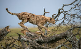 Cheetah sits on a tree in the savannah. Kenya. Tanzania. Africa. National Park. Serengeti. Maasai Mara. Stock Photo