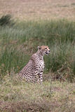Cheetah Sitting. Female cheetah in the Serengeti national park watching a herd of (out of shot) Thomson's gazelle Royalty Free Stock Image