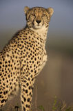 Cheetah Sitting 2. Cheetah sitting side on looking at camera Royalty Free Stock Photo