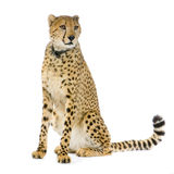 Cheetah sitting;. Studio Shots of Cheetah sitting in front on a white background. All my pictures are taken in a photo studio Royalty Free Stock Images