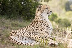 Cheetah Sitting. With a dignified royal posture Stock Images