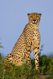 Cheetah sitting. Cheetah on a termite mound royalty free stock image