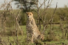 Cheetah sitting amongst the vegetation  in the Maasai Mara. A cheetah sitting at attention in the vegetation in the Maasai Mara, Kenya Stock Image