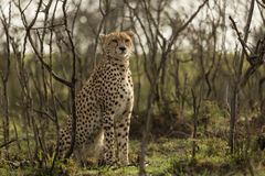 Cheetah sitting amongst the vegetation  in the Maasai Mara. A cheetah sitting at attention in the vegetation in the Maasai Mara, Kenya Stock Photo