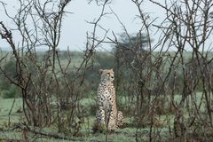 Cheetah sitting amongst the vegetation  in the Maasai Mara. A cheetah sitting at attention in the vegetation in the Maasai Mara, Kenya Royalty Free Stock Photo