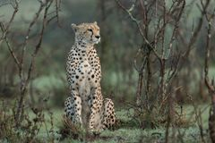 Cheetah sitting amongst the vegetation  in the Maasai Mara. A cheetah sitting at attention in the vegetation in the Maasai Mara, Kenya Stock Photography