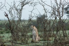 Cheetah sitting amongst the vegetation  in the Maasai Mara. A cheetah sitting at attention in the vegetation in the Maasai Mara, Kenya Stock Images