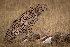 Cheetah sitting as cubs eat Thomson gazelle stock photos