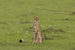 Cheetah sitting on the grasslands of the Maasai Mara. A cheetah sitting at attention on the grasslands of  the Maasai Mara, Kenya Stock Photos