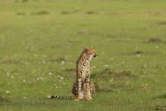Cheetah sitting on the grasslands of the Maasai Mara. A cheetah sitting at attention on the grasslands of  the Maasai Mara, Kenya Stock Photo