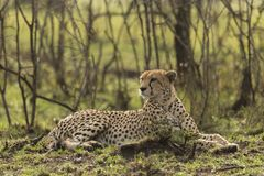 Cheetah sitting amongst the vegetation  in the Maasai Mara. A cheetah sitting at attention in the vegetation in the Maasai Mara, Kenya Royalty Free Stock Images
