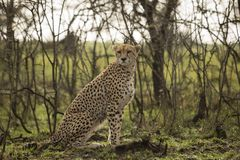 Cheetah sitting amongst the vegetation  in the Maasai Mara. A cheetah sitting at attention in the vegetation in the Maasai Mara, Kenya Stock Photos