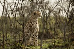Cheetah sitting amongst the vegetation  in the Maasai Mara. A cheetah sitting at attention in the vegetation in the Maasai Mara, Kenya Royalty Free Stock Photos