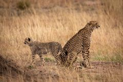 Cheetah sitting back-to-back with cub in grass stock image