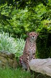 Cheetah Sitting Beside Brown Rocks Near Green Trees during Daytime Royalty Free Stock Photos