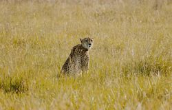Cheetah sitting in the bush looking back. A cheetah sitting in the bush looking back royalty free stock photo