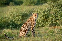Cheetah is sitting in the bush watching the environment. During a safari drive in South Africa Royalty Free Stock Image