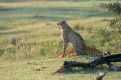 Cheetah is sitting in the bush watching the environment. During sunrise in Africa Royalty Free Stock Photography