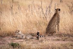 Cheetah sitting and cub lying in grass stock photo