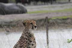 A cheetah sitting in the field. A beautiful cheetah sitting in the field at a sunny day Royalty Free Stock Photography