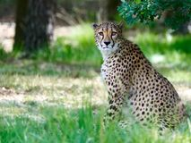 Cheetah sitting in forest looking at the camera royalty free stock photo