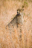 Cheetah sitting in grass. A cheetah sitting in the grass in South Africa on the lookout for its prey royalty free stock photos