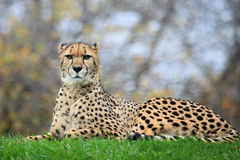 Cheetah. The cheetah is sitting on grass stock image