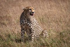 Cheetah sitting in grass with bloody mouth stock photography